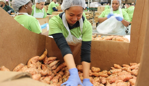 Volunteers packing sweet potatoes